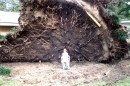 Huge tree uprooted by the power of Katrina in Arpadhon (Albany), LA